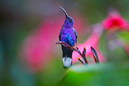 Costa Rica, colibri