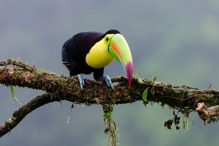 Costa Rica, toucan